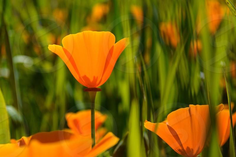 Golden Poppy on Mount Diablo photo