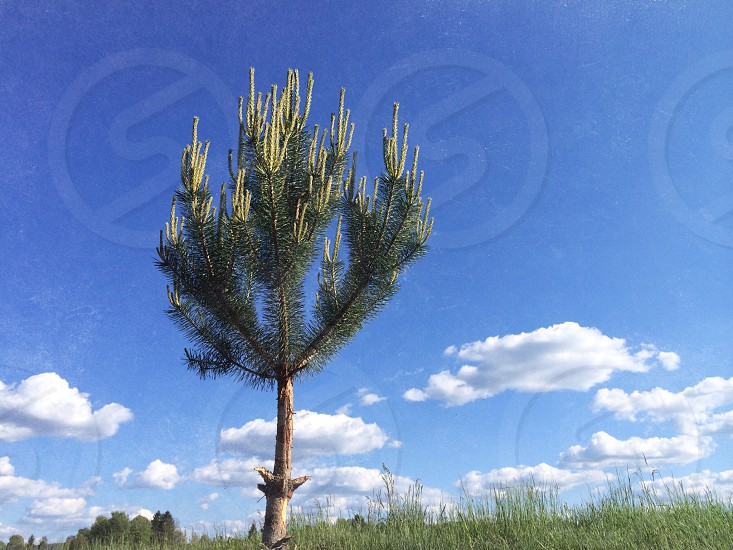 Lone pine tree in the field photo