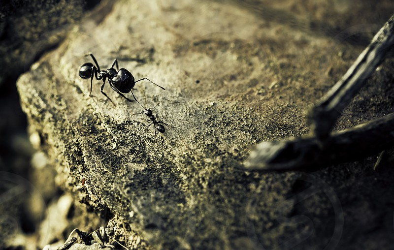 Small ant biting the big black ant antenna on the stone photo