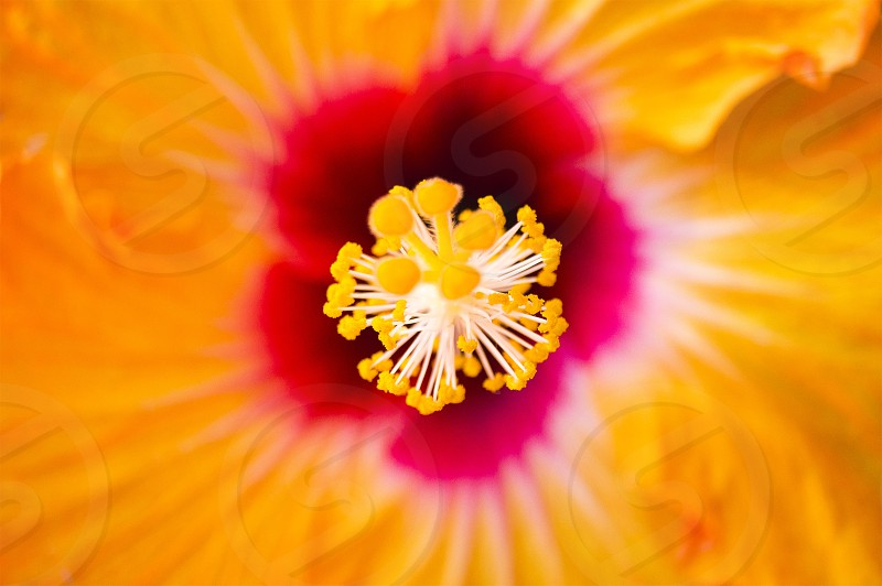 Flor conocida como Tulipán México photo