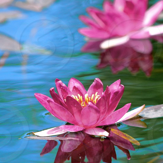 Close-up of pink water lilies floating in a fountain photo