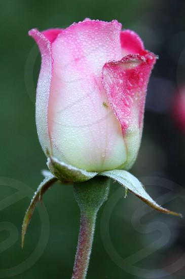 Sparkly rose bud photo