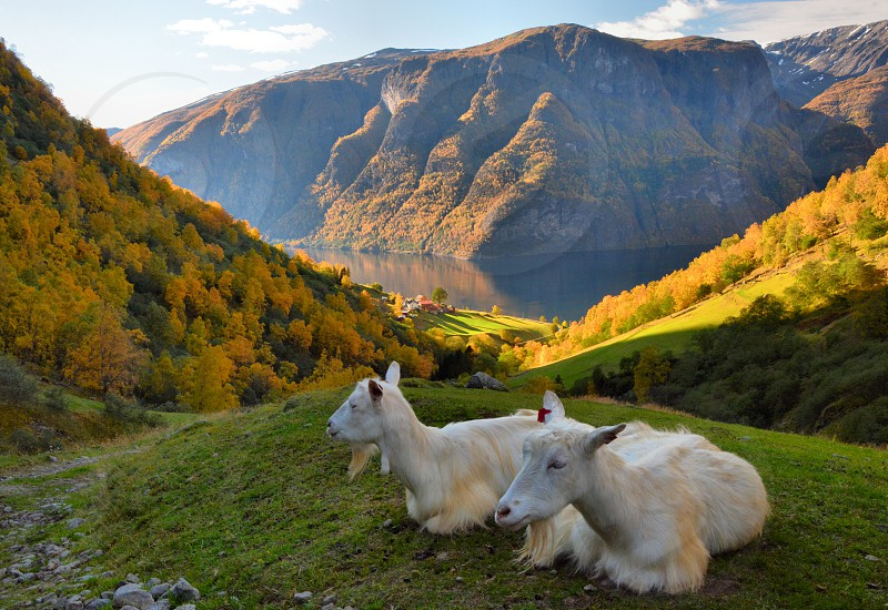 Goat farm beside the fjord Norway photo