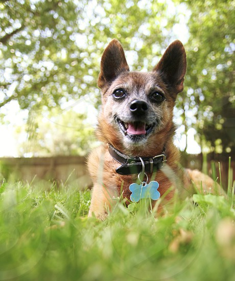 chihuahua dog canine pup puppy pooch pure breed purebred pure breed pet mutt animal mammal best friend companion doggy furry small tiny  man's best friend pal buddy grass happy summer tag collar tongue  photo