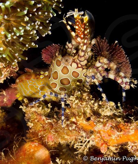 Saron or Marble shrimp Lembeh strait Sulawesi Indonesia photo