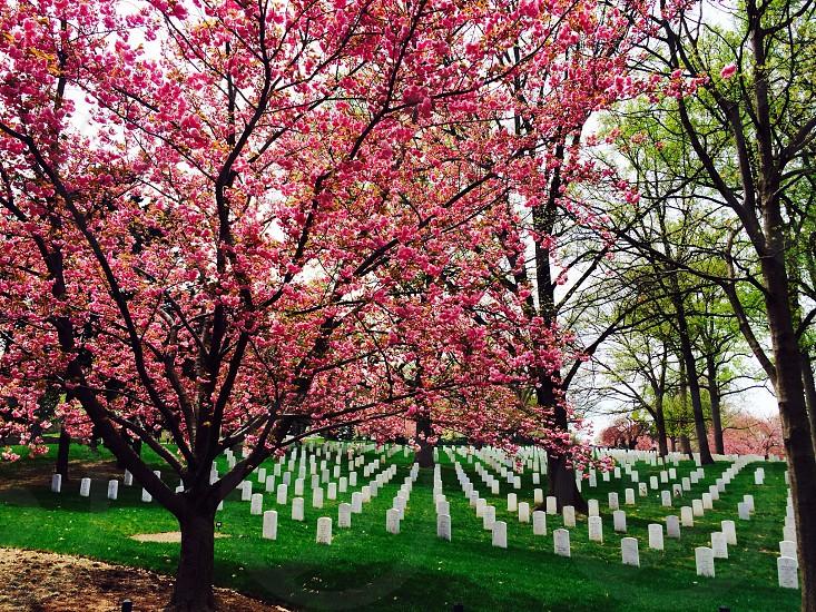 Arlington National Cemetery in Spring   photo