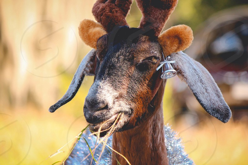 brown goat with horns photo