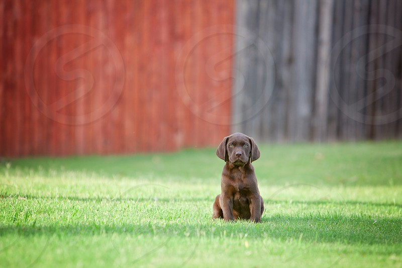 Labrador puppy sitting alone in a backyard on a sunny day. photo