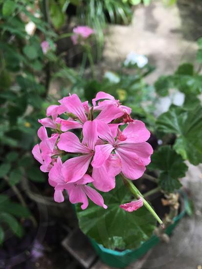 #flor #fotografiadeflor #flordesenrocada #raulmoreno  photo