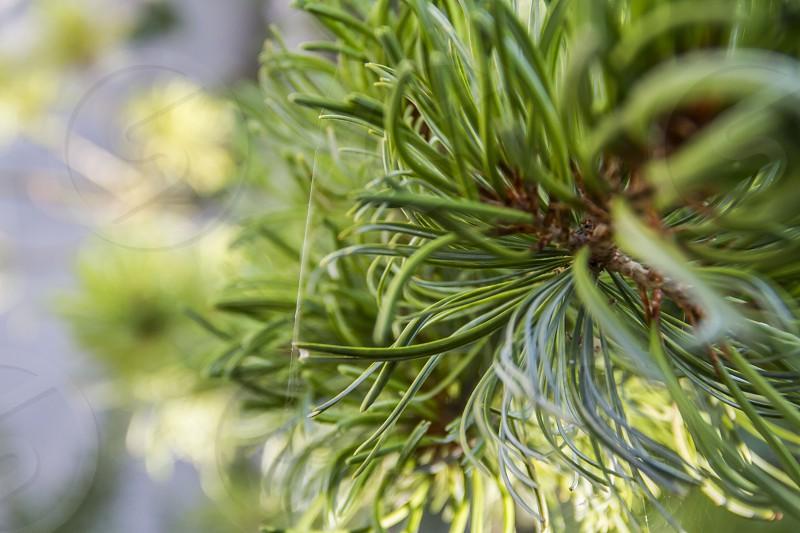 Plant needle-leaved tree photo