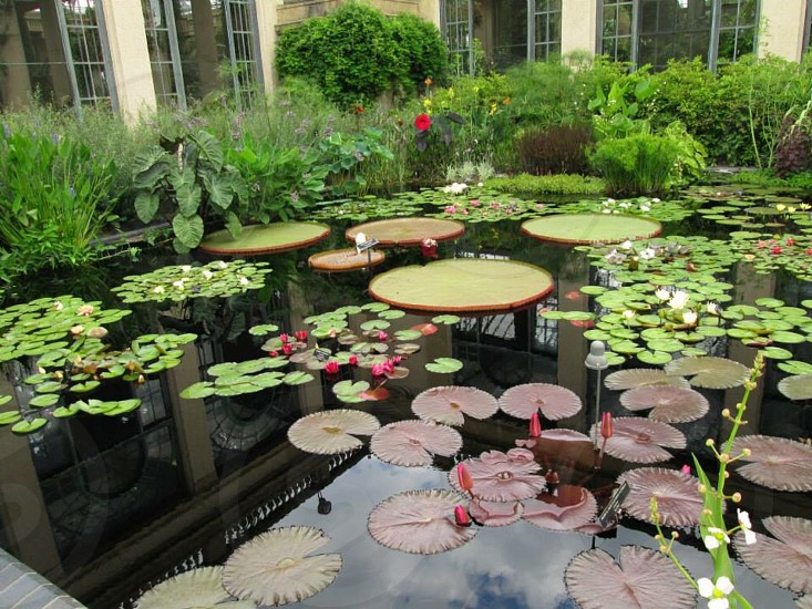 plants nature water lily pads flowers beautiful green red photo