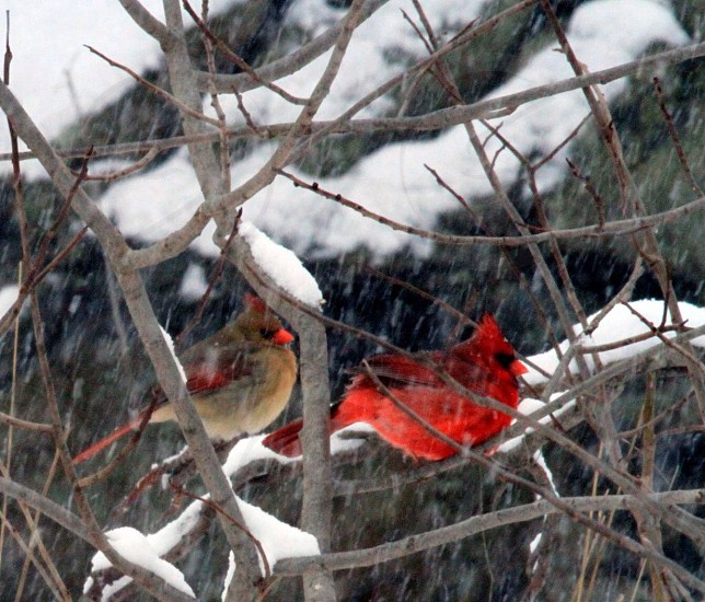 red birds resting on tree animal photography photo