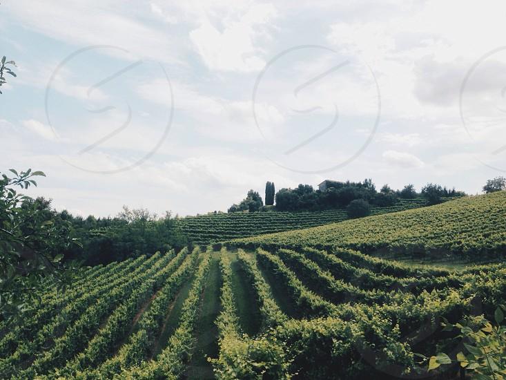 Wineyards photo