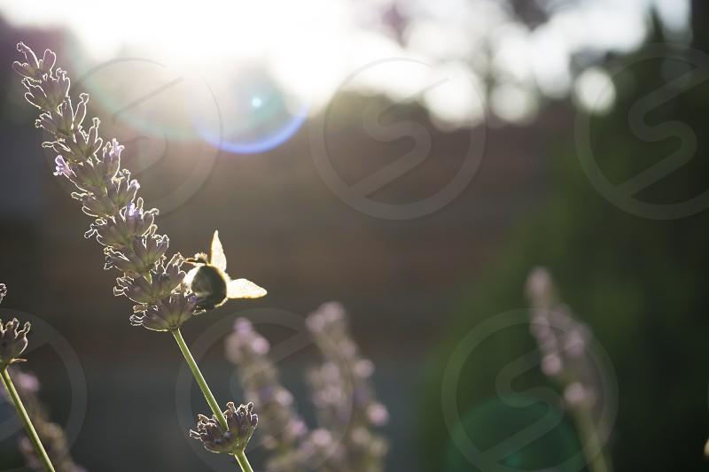bumblebee sun sunset nature garden bokeh lavender flowers light light leaks photo