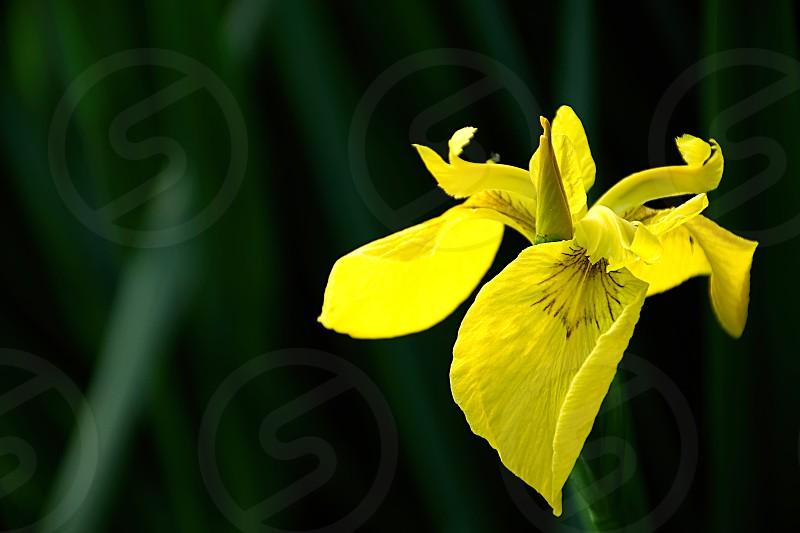 Yellow Iris flower growing near lake shore in summer. photo