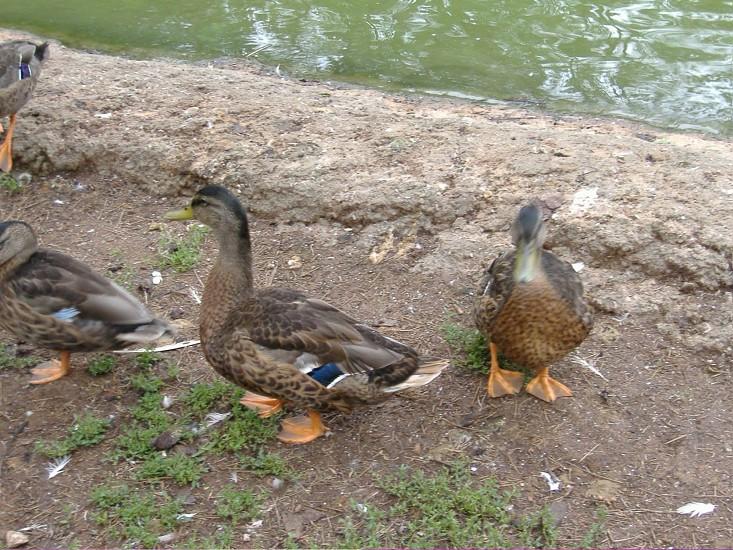 brown duck beside water photo