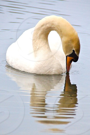 Swan reflection lake wildlife bird photo