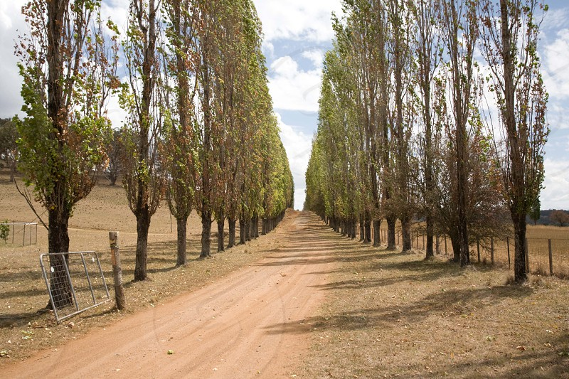 Poplar tree driveway in the country -car background photo