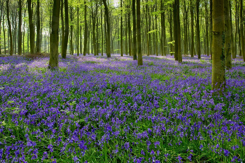 Bluebells in Wepham Woods photo