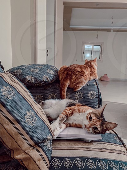 Naps on the sofa Rental rented apartment apartment bedroom macro cats home renter morning  photo