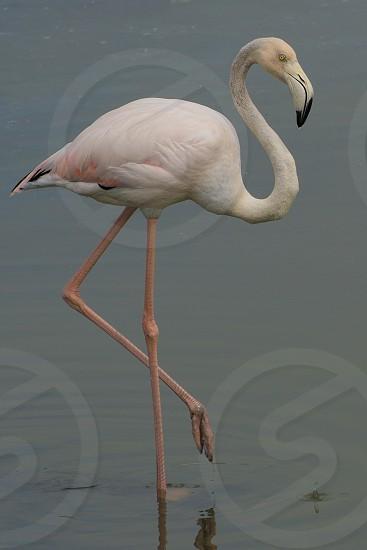 Flamingo out for a walk at the Ras Al Khor Wildlife Sanctuary in Dubai photo