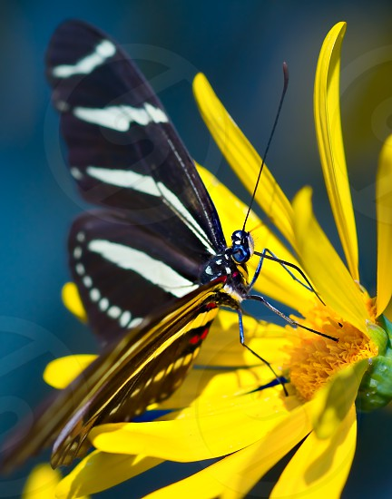 A Zebra Butterfly feeding on a wildflower at a botanical exhibit in the Phoenix Botanical Garden. photo