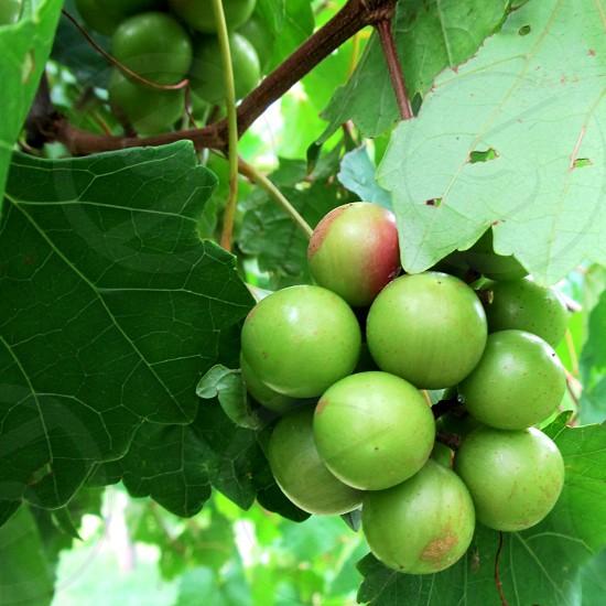 Green muscadines on vine photo