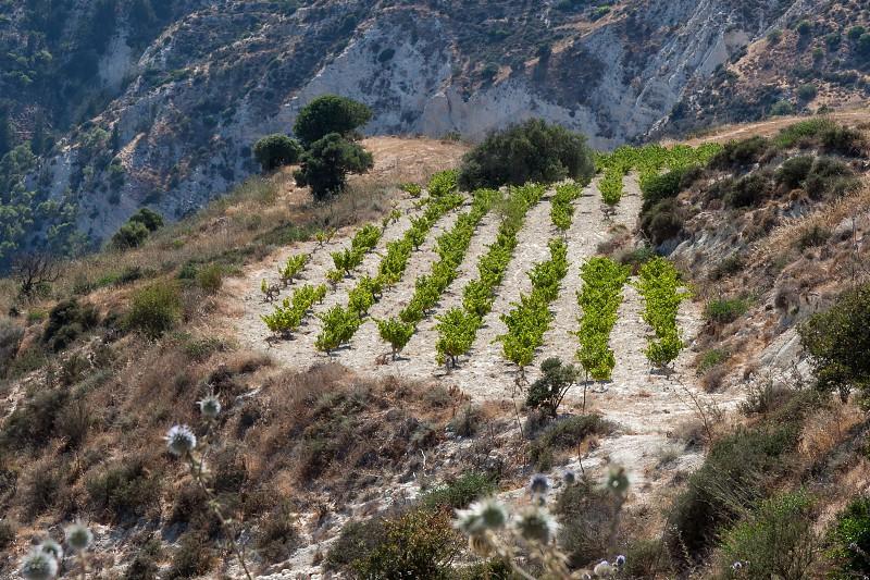 Vineyard in Cyprus photo