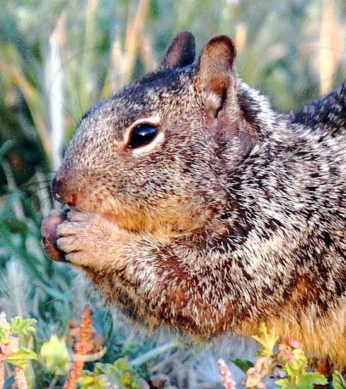 Gray squirrel photo