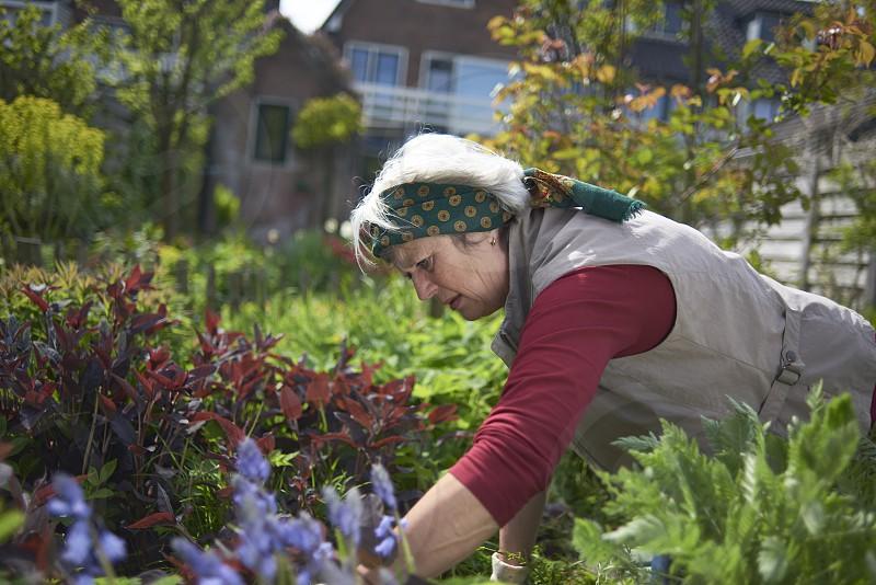 Healthy elderly woman hard at work gardening in her back yard in spring sunshine photo
