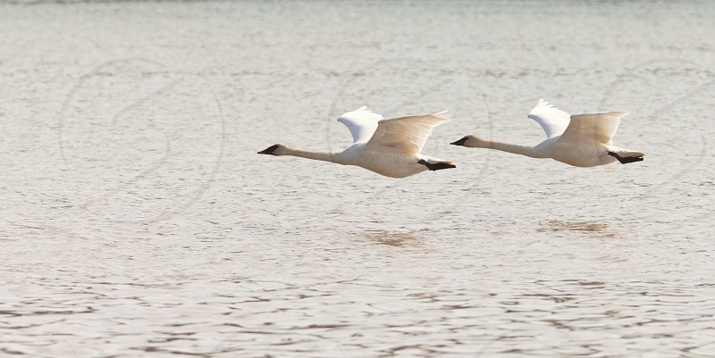 Graceful mating pair of adult white trumpeter swans  Cygnus buccinator  flying over water with their necks extended as they migrate to their arctic nesting grounds with copyspace photo