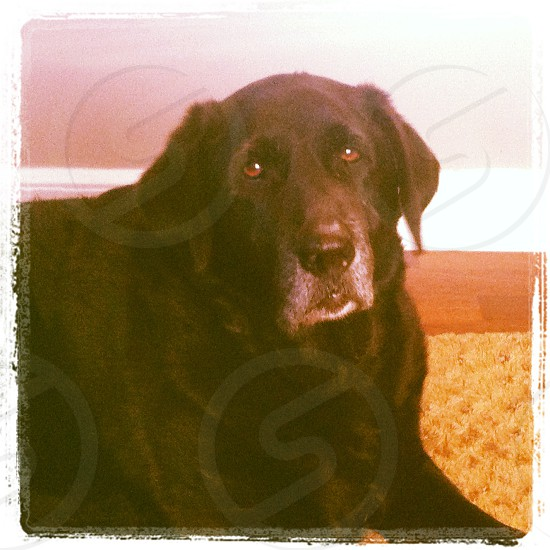 Lab elder dog black lab Labrador white face grey hair photo