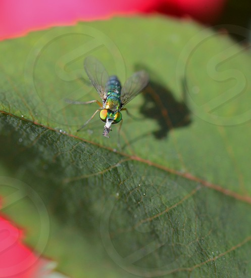 green hover fly on leaf photo
