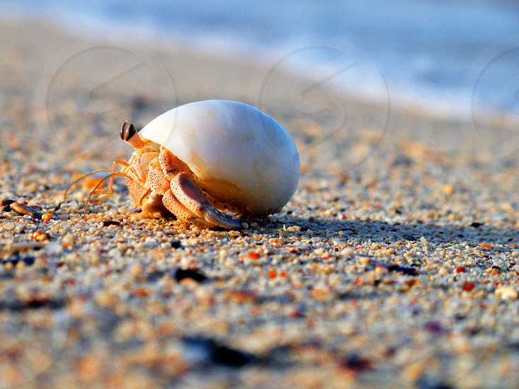 hermit crab Marsa alam Egypt photo