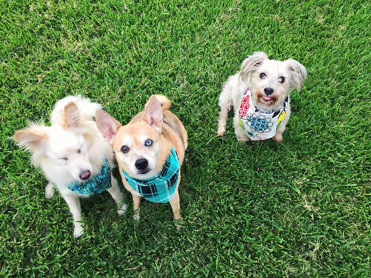 beige and white short coat small dog wearing teal white black plaid bandana between beige long coat small dog wearing teal black bandana and white long coat small dog wearing blue white red yellow bandana all looking upwards on green short grass lawn photo
