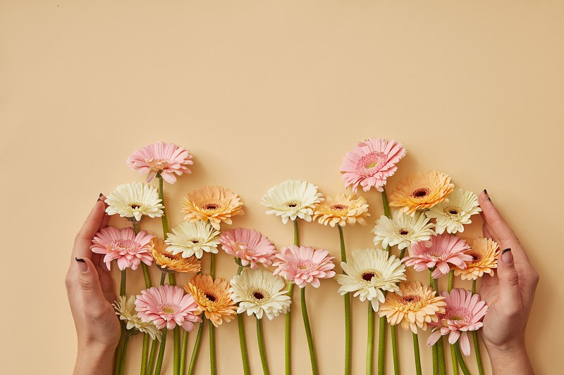 Many different gerberas female hands are held on a yellow paper background. Greeting card for mother's day or March 8. Flat lay photo
