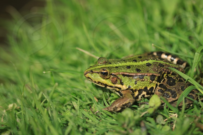 green and black frog on a green grass photo