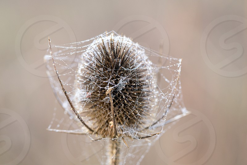 Bur covered in dew laden spider cobweb sparkling in the bright morning winter's sunshine photo