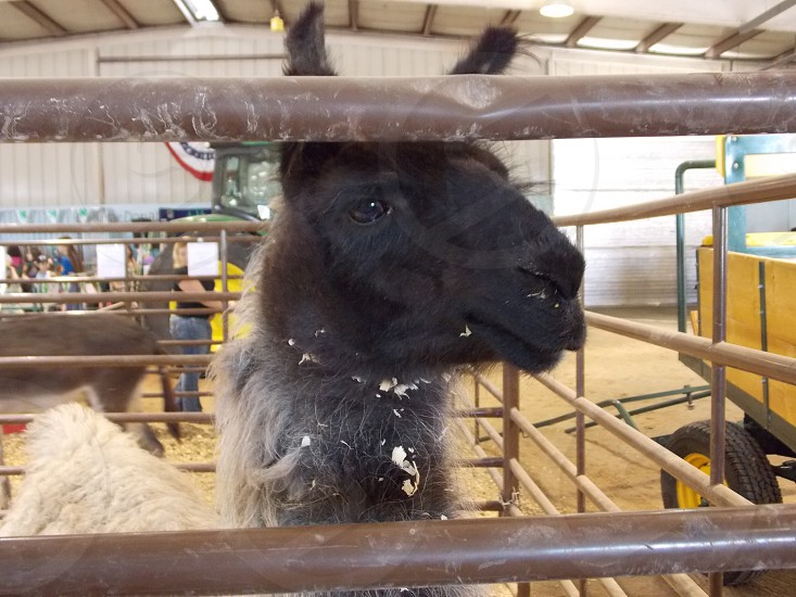 Llama at the fair photo