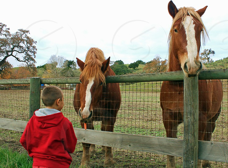 Seen from behind a little boy interacts and talks to a pair of brown horses photo
