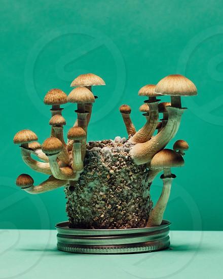 Psilocybin Cubensis mushrooms fruiting on a substrate. photo