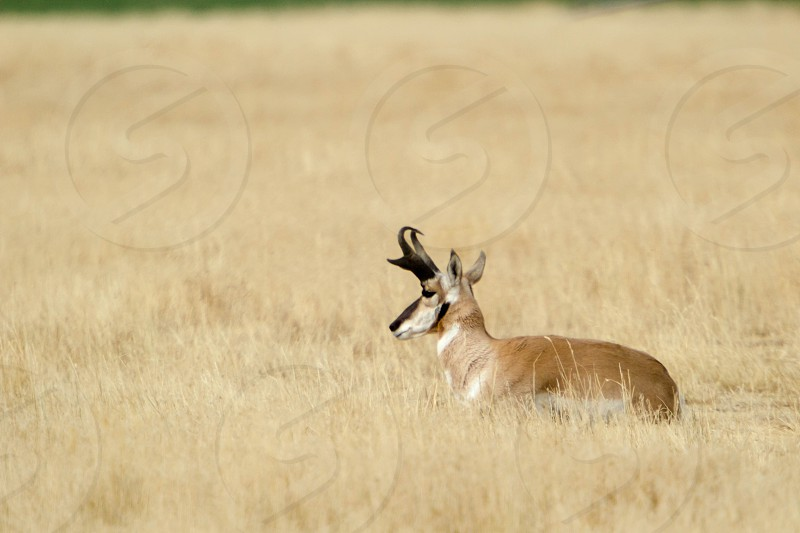 Bedded pronghorn buck in Montana photo