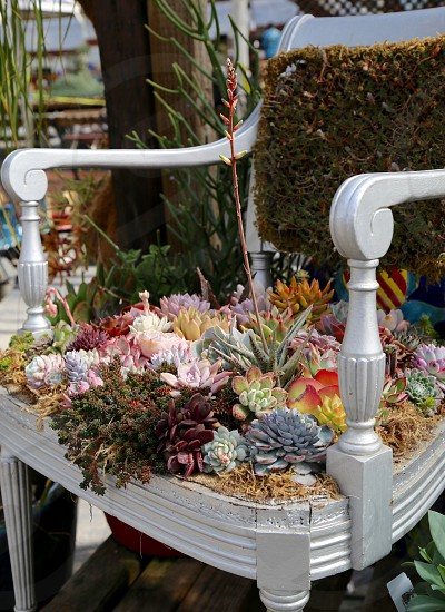 Succulents in an Old Chair photo