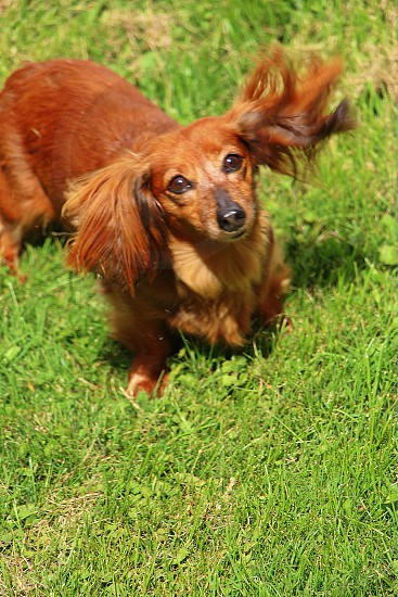 Curious Annie!  Curious Wiener dog long haired green grass summer brown dog photo