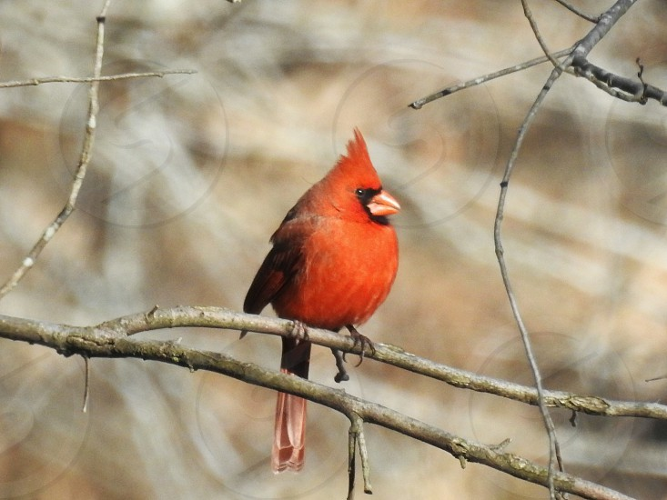 cardinal in the woods photo