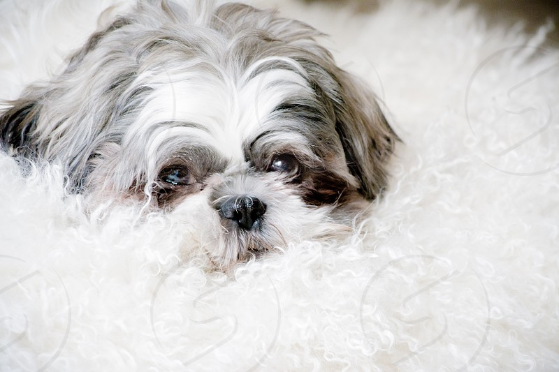 white and gray long haired dog photo
