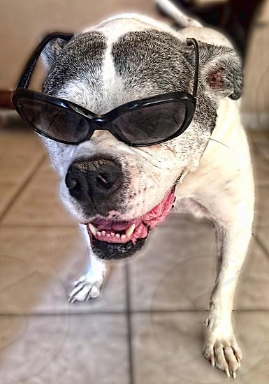 American Bull dog wears sunglasses. photo