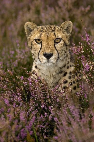 Cheetah in a purple flowerbed photo