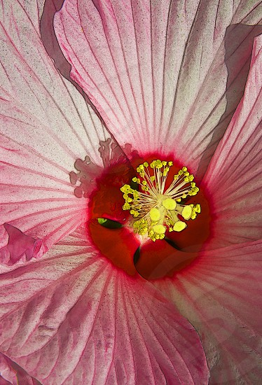 pink hibiscus in full bloom photo