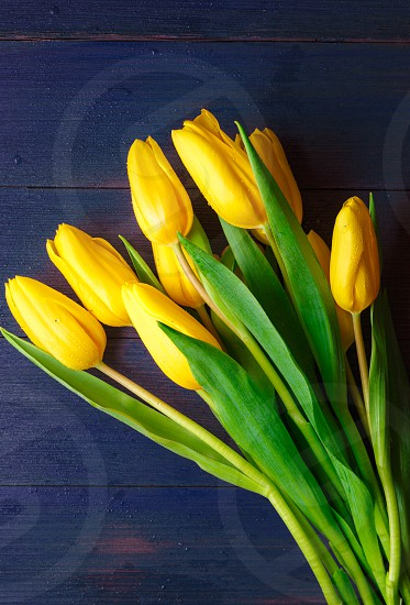 Lovely bunch of yellow tulips on a dark blue wooden surface photo